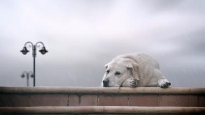 Labrador Retriever A3 HD Poster Art PNCA25072 Photographic Paper