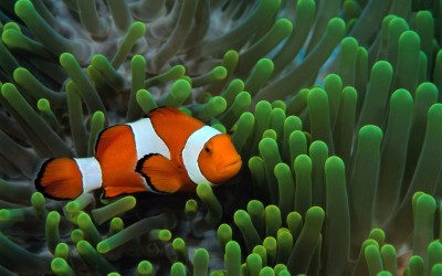 Clownfish A3 HD Poster Art PNCA25346 Photographic Paper