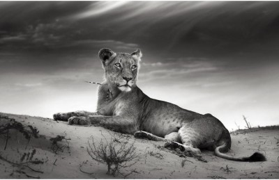 Lioness On Desert Dune Premium Poster Canvas Art