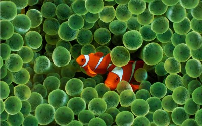 Clownfish A3 HD Poster Art PNCA25345 Photographic Paper