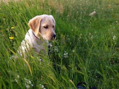 Labrador Retriever A3 HD Poster Art PNCA25112 Photographic Paper