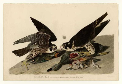 The Museum Outlet - Art Postcard - Audubon - Great-footed Hawk - Plate 16 Paper Print
