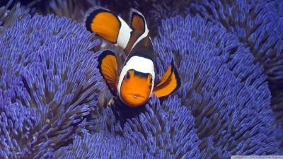 Clownfish A3 HD Poster Art PNCA25354 Photographic Paper