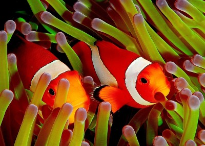 Clownfish A3 HD Poster Art PNCA25349 Photographic Paper