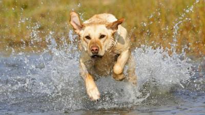 Labrador Retriever A3 HD Poster Art PNCA25078 Photographic Paper