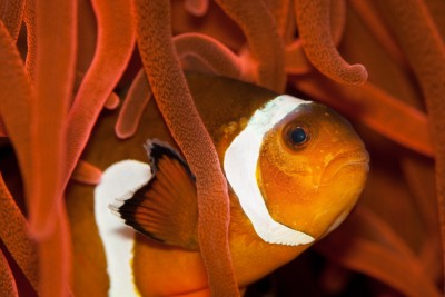 Clownfish A3 HD Poster Art PNCA25347 Photographic Paper