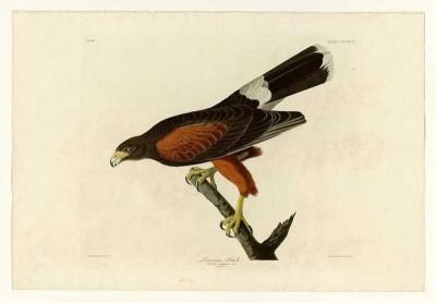 The Museum Outlet - Art Postcard - Audubon - Louisiana Hawk - Plate 392 Paper Print