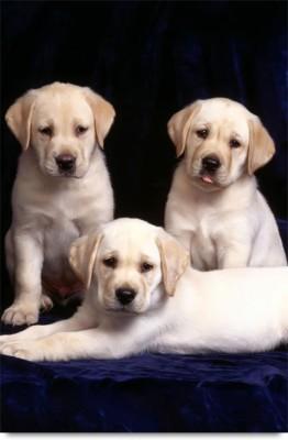 Labrador Retriever puppy Paper Print