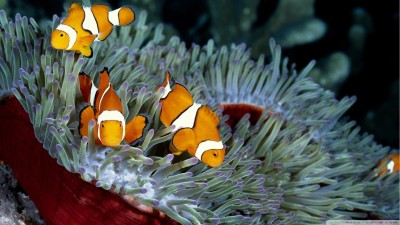 Clownfish A3 HD Poster Art PNCA25355 Photographic Paper