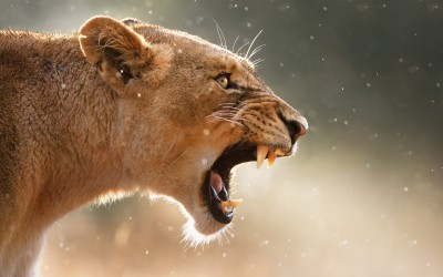 Roaring Lioness Animal Poster Paper Print