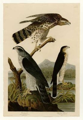 The Museum Outlet - Art Postcard - Audubon - Stanley Hawk - Plate 141 Fine Art Print