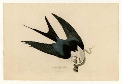 The Museum Outlet - Art Postcard - Audubon - Swallow-tailed Hawk - Plate 72 Fine Art Print