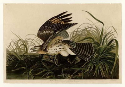 The Museum Outlet - Art Postcard - Audubon - Winter Hawk - Plate 71 Fine Art Print