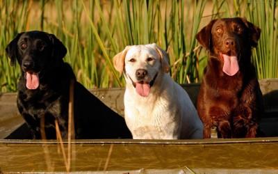 Labrador Retriever A3 HD Poster Art PNCA25077 Photographic Paper