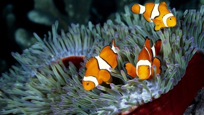 Clownfish A3 HD Poster Art PNCA25351 Photographic Paper