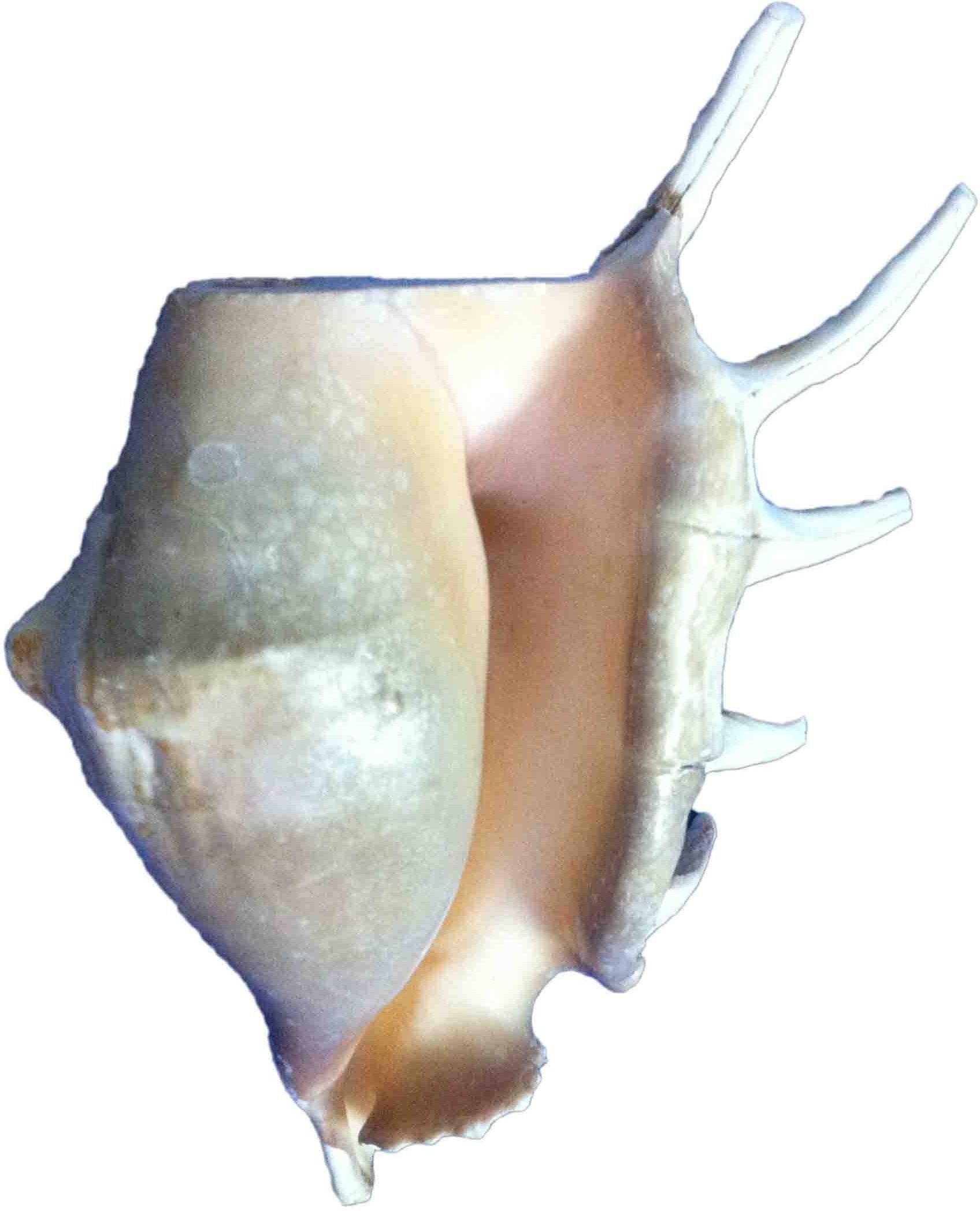 YOGI Natural Gaumukhi Shankh (Panchmukhi) Blowing Shankh(White)