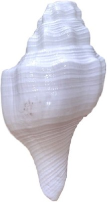 Divine Temples Vamavarti Dattatrey (12.5 cms) Loud Blowing Shankh(White)