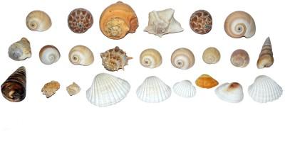 Spiritual Max Exclusive Ocean Stuff for Aquarium Decorative Shankh(Multicolor)