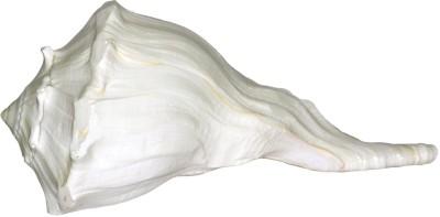 Spiritual Max Dakshinavarti Laxmi / Left Hand Sacred Shankh(White)